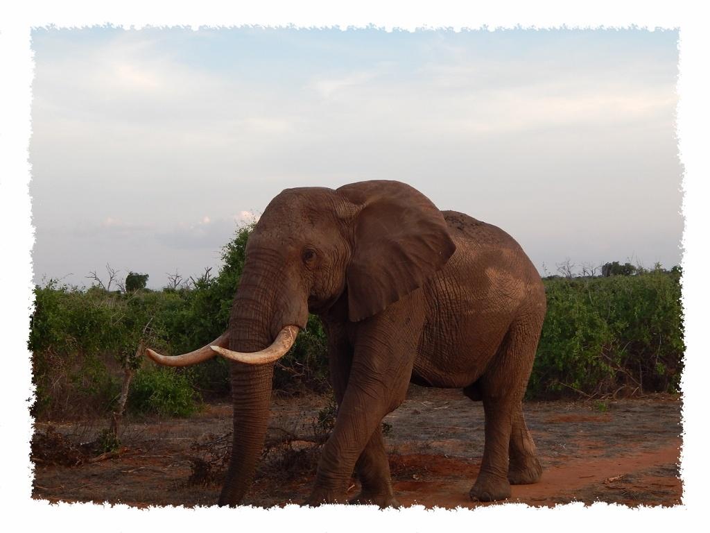 Elefantenbulle im Tsavo East Nationalpark, Kenia