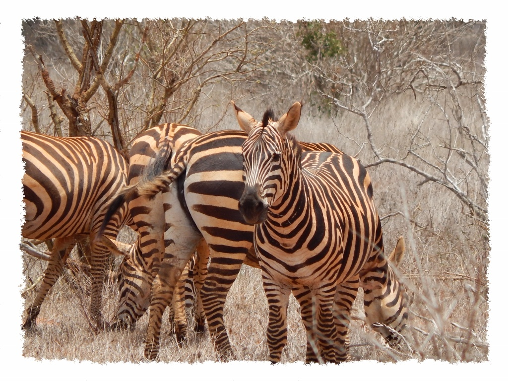 Zebras im Tsavo East Nationalpark, Kenia