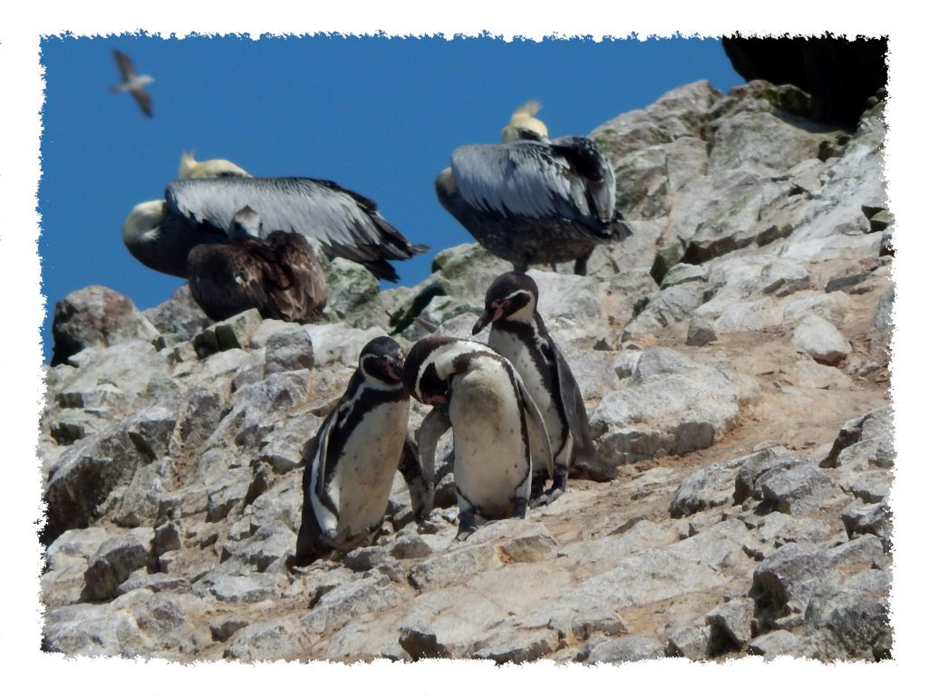 Paracas Humboldt Pinguine auf Islas Ballestas
