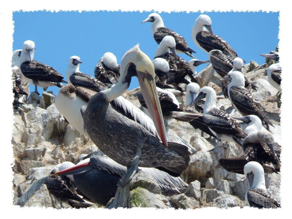 Paracas Pelikane auf Islas Ballestas