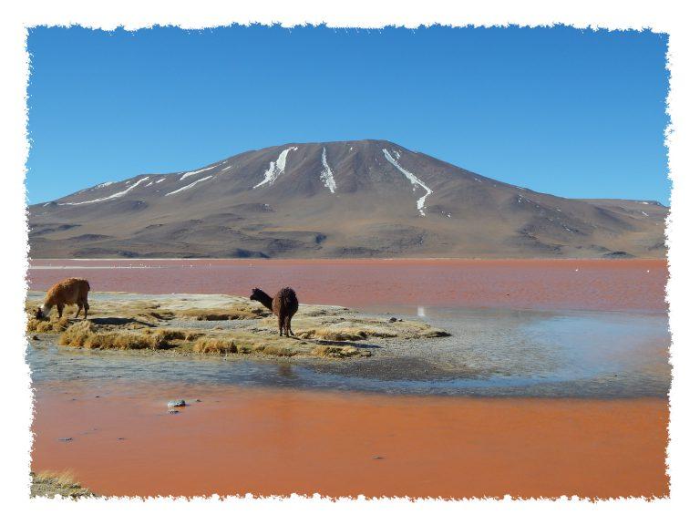 Uyuni - Alpaka in Laguna Colorada
