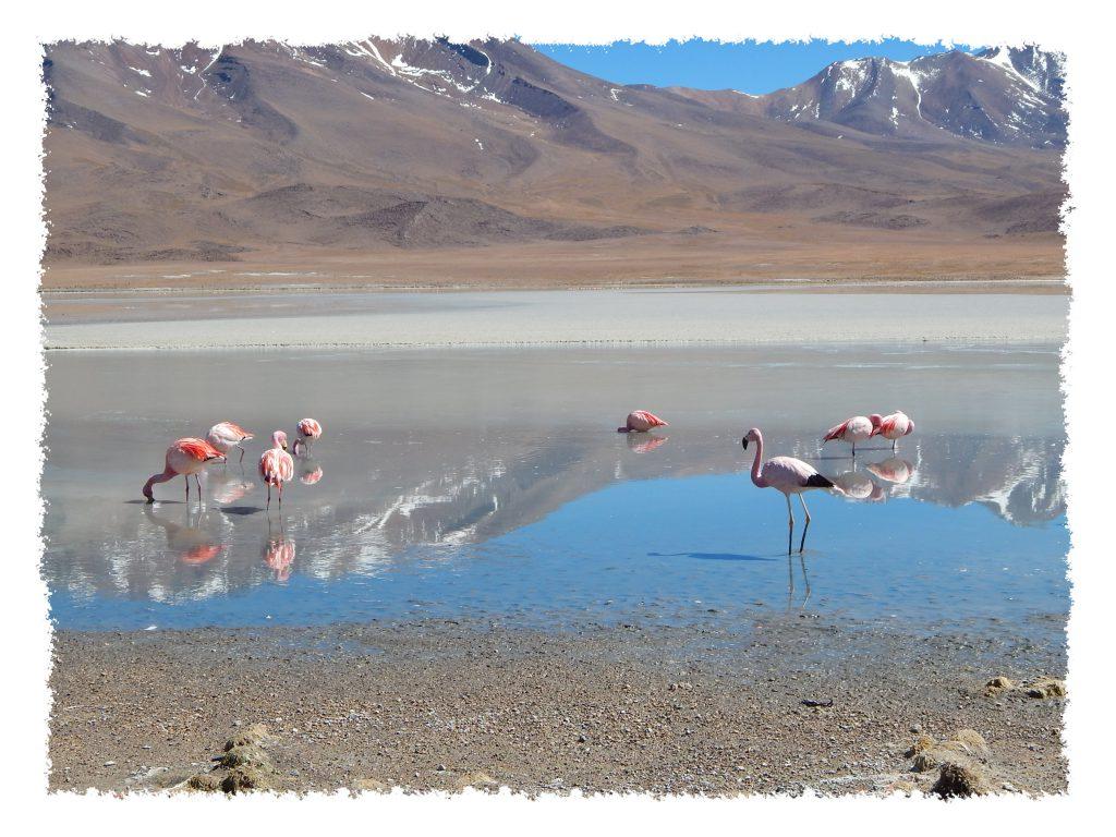 Uyuni - Pinke Flamingos in Laguna Hedionda