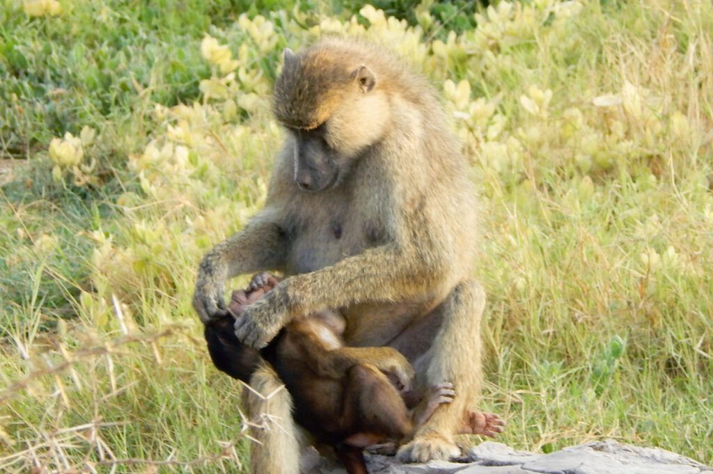 Amboseli Nationalpark - Affe