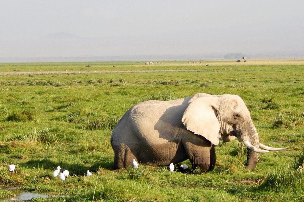 Amboseli Nationalpark - Elefant 2