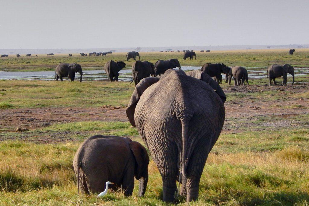 Amboseli Nationalpark - Elefant