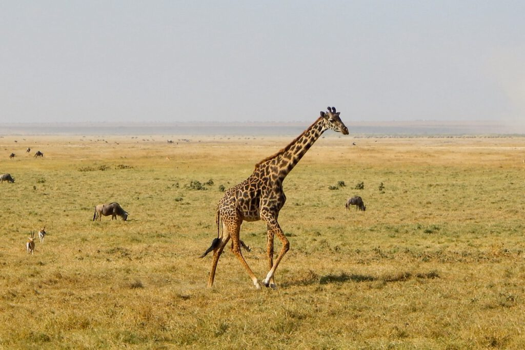Amboseli Nationalpark - Giraffe