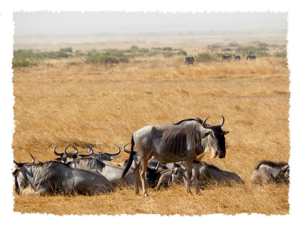 Amboseli Nationalpark - Gnus