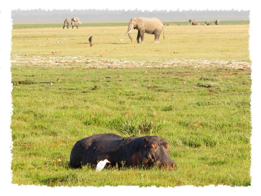 Amboseli Nationalpark - Hippo