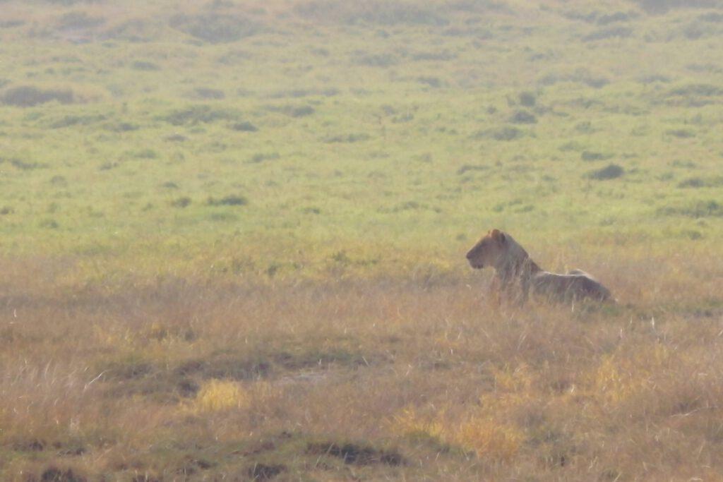 Amboseli Nationalpark - Löwin