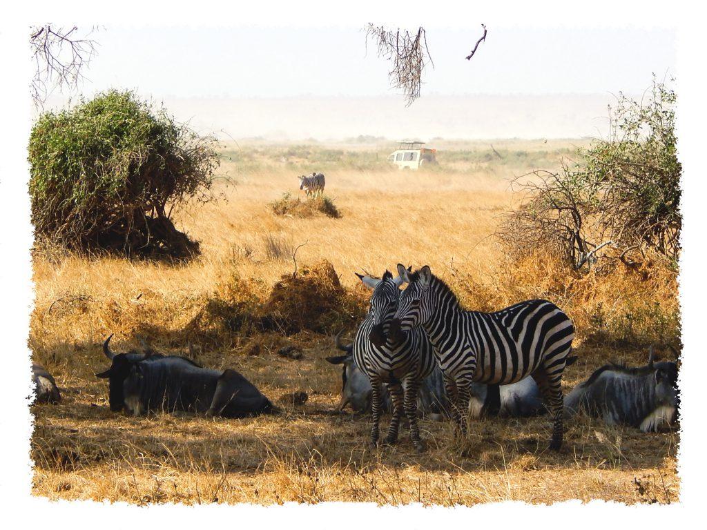 Amboseli Nationalpark - Zebra