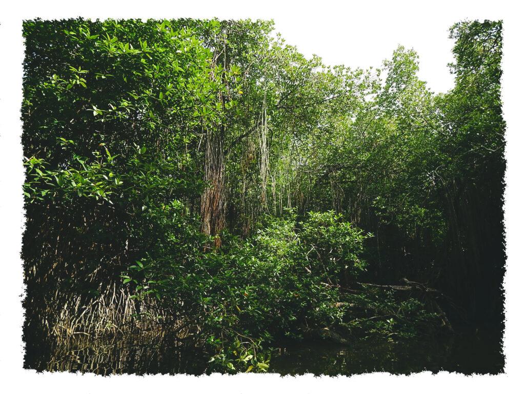 Sri Lanka - Bentota River Mangrovenwald