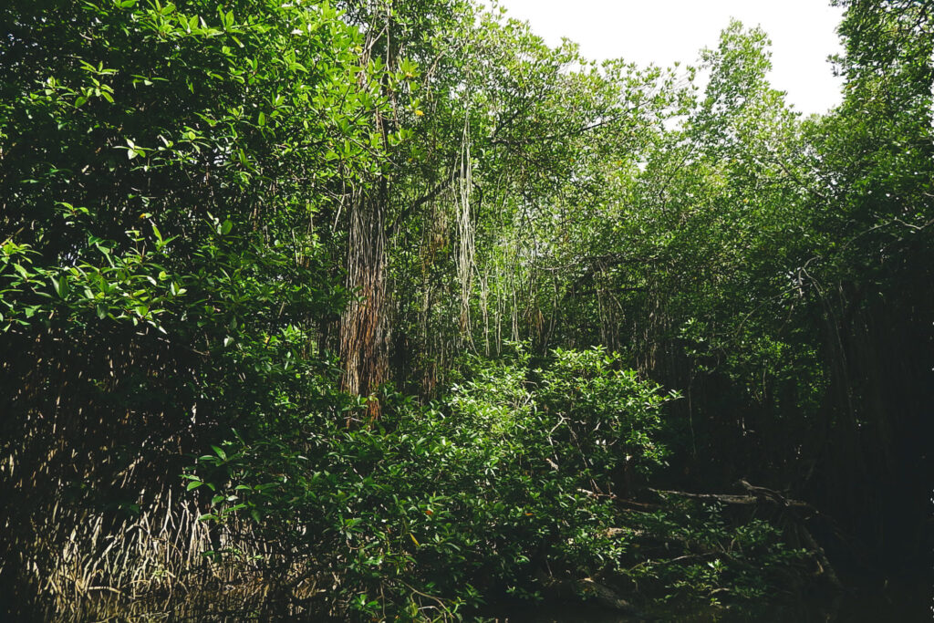 Süden Sri Lanka - Bentota River Mangrovenwald