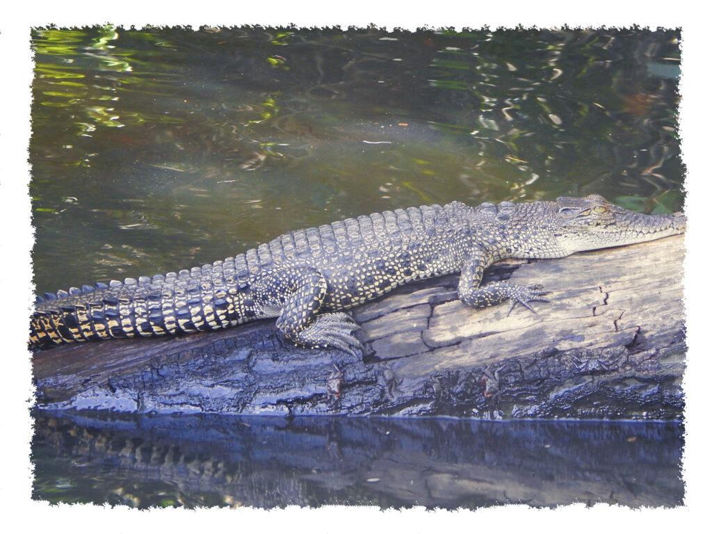 Sri Lanka - Bentota River Wildes Krokodil