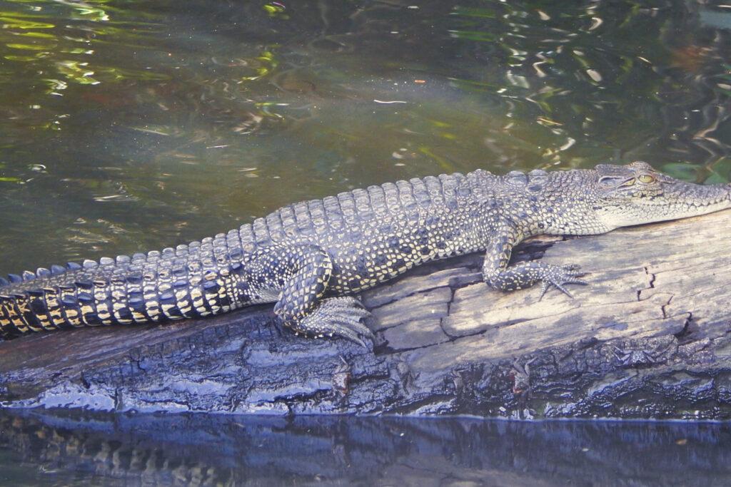 Süden Sri Lanka - Bentota River Wildes Krokodil