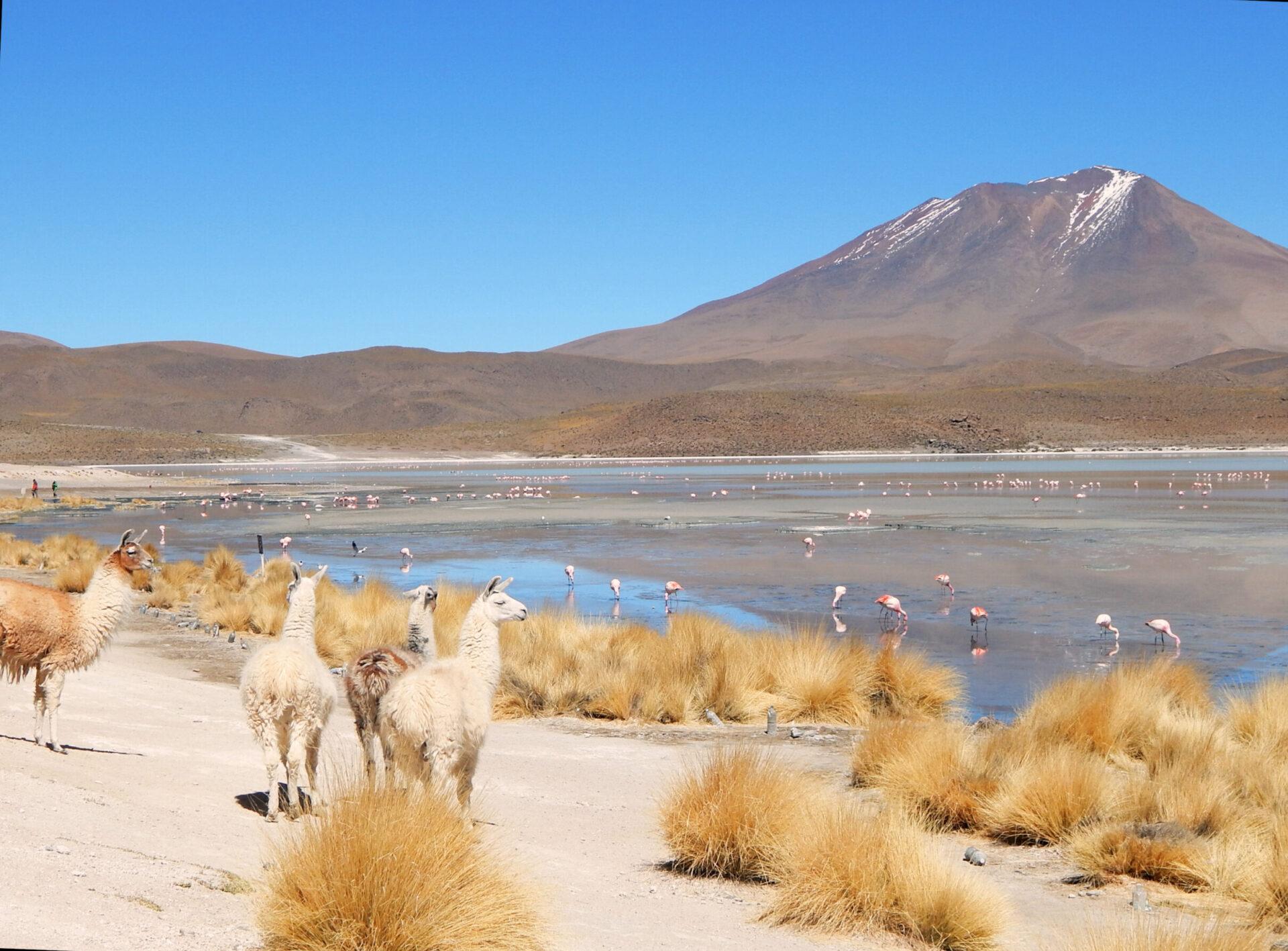 Lateinamerika - Alpakas und Flamingos an Lagune