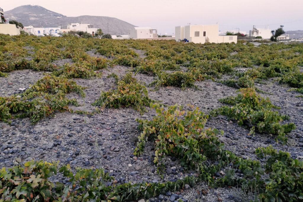 Weinanbau auf der Insel Santorini