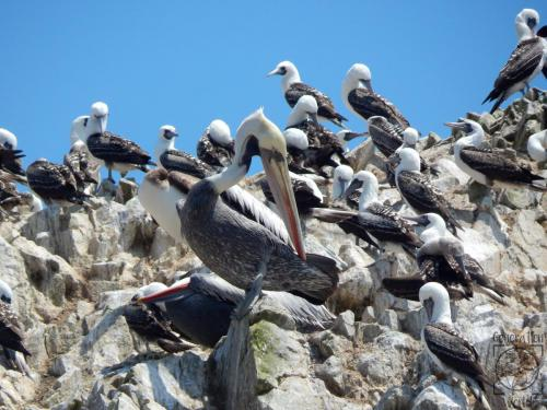 Peru - Islas Ballestas